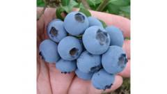 Čučoriedky, vlasné pestovanie spôsobom ako pri Bio, preberané ručný zber, veľké bobule - predaj čerstvých polodov len v čase dozrievania a zberu.